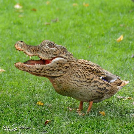 The Crocodile Duck - Waddles quickly in a straight line, but doesn't turn well
